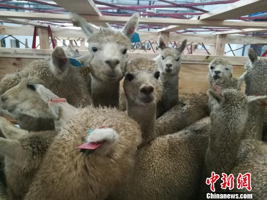The alpacas were selected by Chinese experts from one of the biggest alpaca farms in Australia. [Photo: Chinanews.com]